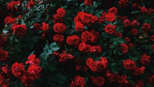 Preview wallpaper roses, bush, bloom, garden, red, contrast