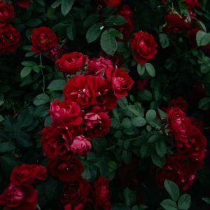 Preview wallpaper roses, bush, garden, bud, red, bloom, leaves