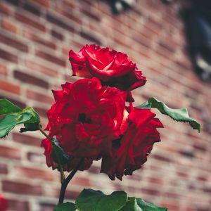 Preview wallpaper roses, garden, bush, petals, blur, red, buds