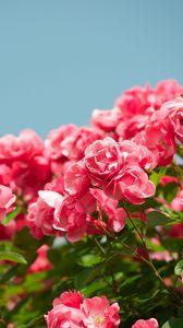 Preview wallpaper roses, shrub, sky, sharpness, beautiful