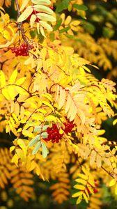 Preview wallpaper rowan, berries, leaves, autumn, yellow, macro