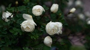 Preview wallpaper roses, twigs, white, petals, buds