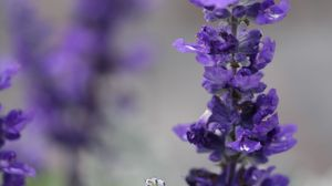 Preview wallpaper sage, flowers, plant, purple, macro