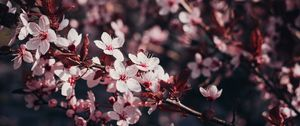 Preview wallpaper sakura, flowers, branches, bloom, tree, cherry