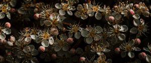 Preview wallpaper sakura, flowers, buds, flowering, cherry