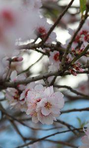 Preview wallpaper sakura, flowers, petals, branches, macro