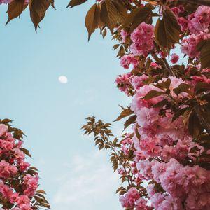 Preview wallpaper sakura, flowers, pink, sky, moon, bloom, spring