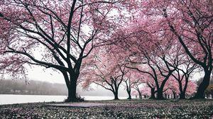 Preview wallpaper sakura, trees, flowering, flowers, blooming