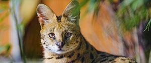 Preview wallpaper serval, animal, glance, predator, big cat