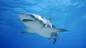 Preview wallpaper shark, swim, sea, ocean, predator