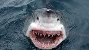 Preview wallpaper shark, teeth, face, anger