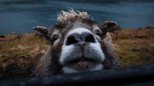 Preview wallpaper sheep, funny, animal, cute, peeking