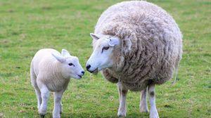 Preview wallpaper sheep, lamb, wool, mother