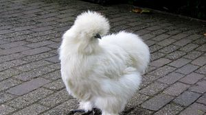 Preview wallpaper silkie, chicken, feathers