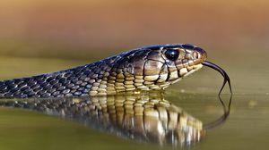 Preview wallpaper snake, tongue, eyes