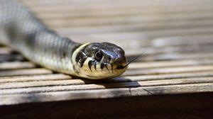 Preview wallpaper snake, tongue, reptile
