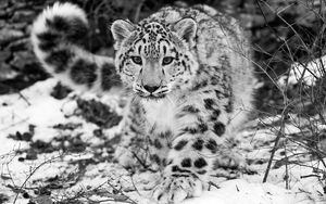 Preview wallpaper snow leopard, snow, hunting, attention, black and white