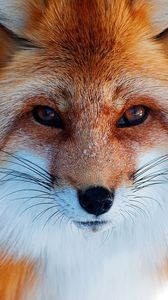 Preview wallpaper snow, winter, fox, red, nose