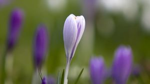 Preview wallpaper snowdrop, glare, grass, leaves