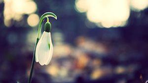 Preview wallpaper snowdrop, petals, bright