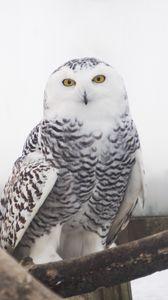 Preview wallpaper snowy owl, owl, bird, white, wild