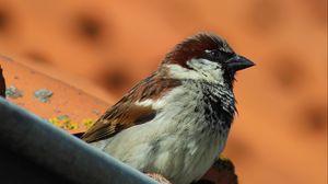 Preview wallpaper sparrow, bird, beak