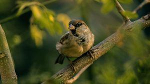 Preview wallpaper sparrow, bird, blur
