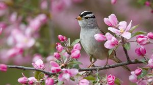 Preview wallpaper sparrow, bird, branches, flowers, bloom