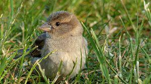 Preview wallpaper sparrow, bird, grass