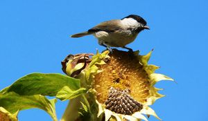 Preview wallpaper sparrow, bird, sunflower, sky, foliage, sit