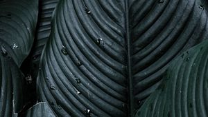 Preview wallpaper spathiphyllum, plant, leaves