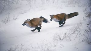 Preview wallpaper speed, trees, snow, winter, foxes, slope