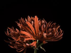 Preview wallpaper spider lily, flower, petals, macro, red