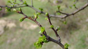 Preview wallpaper spring, branch, kidneys, leaves, green
