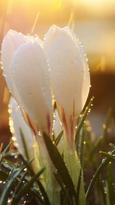 Preview wallpaper spring, snowdrops, flowers, buds, drops, sun, glare