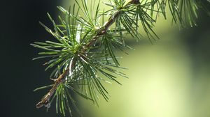 Preview wallpaper spruce, branch, thorn, macro
