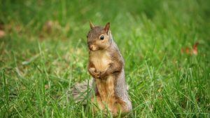 Preview wallpaper squirrel, animal, grass, wildlife
