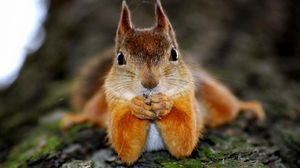 Preview wallpaper squirrel, animal, look