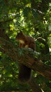 Preview wallpaper squirrel, animal, tree, wildlife
