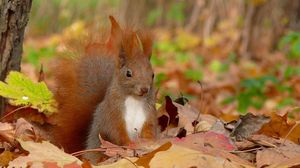 Preview wallpaper squirrel, grass, leaves, fall, fluffy, tail, sit