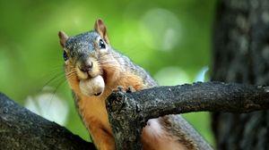 Preview wallpaper squirrel, nut, branches, climb, mine