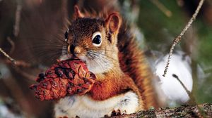 Preview wallpaper squirrel, nut, food, branches