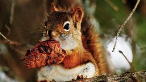 Preview wallpaper squirrel, nut, food, bump