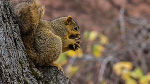 Preview wallpaper squirrel, nut, food, fluffy