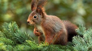 Preview wallpaper squirrel, spruce, blur