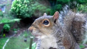 Preview wallpaper squirrel, tail, face, eyes