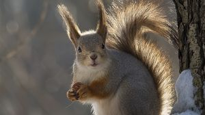 Preview wallpaper squirrel, tail, winter