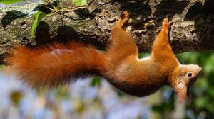 Preview wallpaper squirrel, tree, upside down