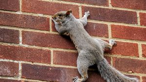 Preview wallpaper squirrel, wall, climbing, tail