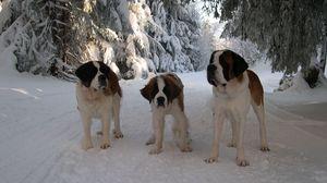 Preview wallpaper st bernard, family, puppy, snow, road, walk